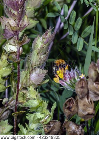 Macro Of A Bombus, Like Bees, Bumblebees Collect Nectar And Pollen For Nutrition. They Are Among The