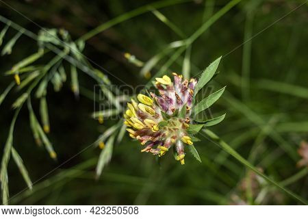 Common Kidney Vetch Is Native To Europe. It Is Used In Traditional Medicine, Externally To Promote W