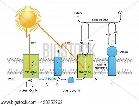 Photosynthesis Process Diagram Illustration Design Equation Co2 02 Chlorophyll, Sunlight ,water, Pla