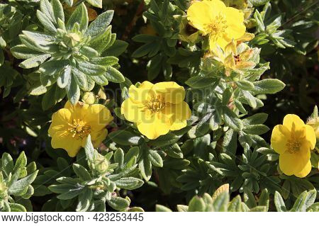 Closeup Of Yellow Potentilla Shrub Flowers In Summer