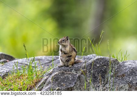 A Yellow Pine Chipmunk At Lewis And Clark Cavern Sp, Montana