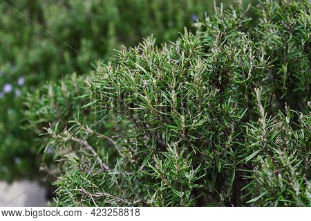 Blooming Rosemary Bush. Rosmarinus Officinalis, Lamiaceae. Seasonings.
