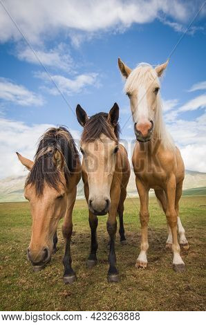 Portrait Of Three Beautiful Haflinger Horses In The Pian Grande, National Park Of Monti Sibillini, U