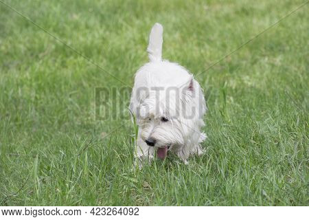 Cute Scottish Terrier Puppy Is Walking On A Green Grass In The Summer Park. Pet Animals. Purebred Do