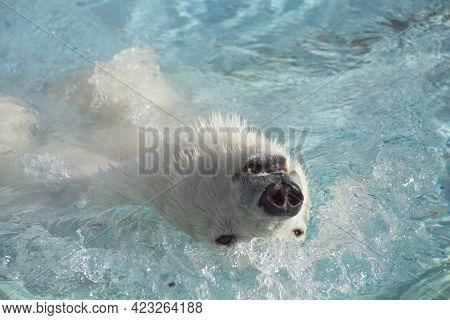 Big Polar Bear Is Swimming On A Back In The Water. Head Close Up. Ursus Maritimus Or Thalarctos Mari