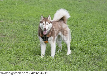 Cute Red And White Siberian Husky Is Standing On A Green Grass And Looking At The Camera. Pet Animal