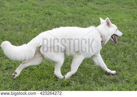 Cute White Swiss Shepherd Dog Puppy Is Running On A Green Grass In The Summer Park. Pet Animals. Pur