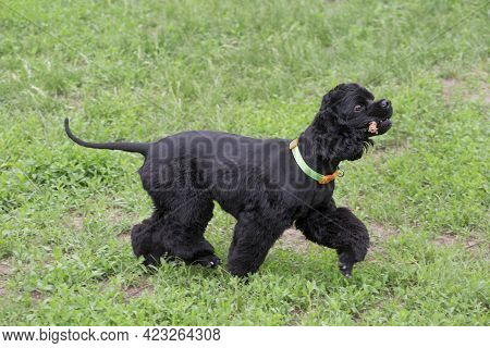 Cute Cavalier King Charles Spaniel Puppy Is Walking On A Green Grass In The Summer Park With Stick I