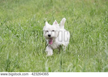 Cute White Scottish Terrier Puppy Is Walking On A Green Grass And Looking At The Camera. Pet Animals