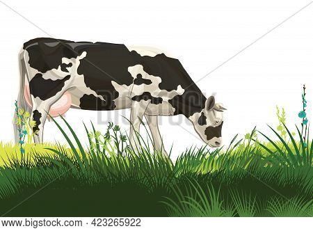 A Cow Is Grazing In A Pasture. Isolated Landscape On A White Background. Black And White Breed. Mead