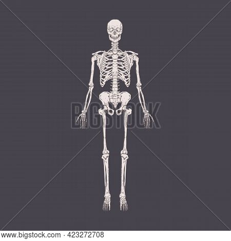 Front View Of Full-length Human Body Skeleton With Realistic Bones, Ribs, Skull. People S Anatomy Dr