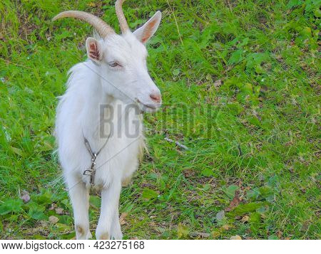 White Goat Of Russian White Breed With Horns, Looking Directly And Grazing On Green Grass. Wildlife,