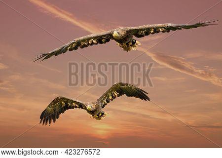 Two European Sea Eagles Flying In A Red Dramatic Sky. Birds Of Prey In Flight. Flying Birds Of Prey