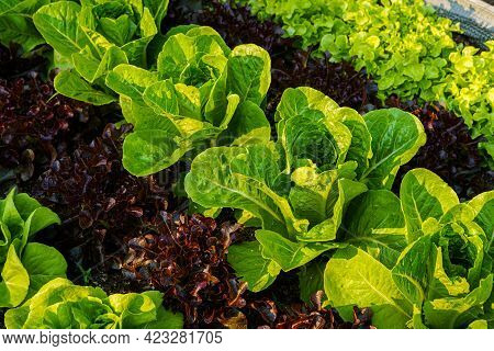 Beautiful Organic Butterhead ,mini Cos, Green And Red Oak Lettuce Or Salad Vegetable Garden On The S