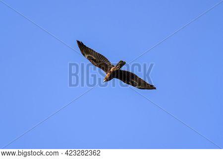 Imperial Eagle Aquila Heliaca Juvenile Flying Under Blue Sky. Majestic Bird Of Prey In Wildlife.