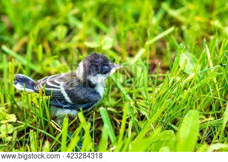 The Chick Tit On A Summer Green Meadow. Great Tit, Parus Major.cyanistes Caeruleus Or Parus Caeruleu