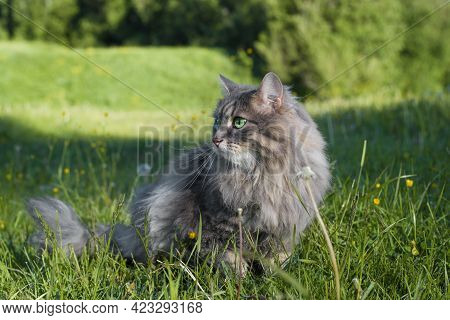Outdoor Cat. Portrait Of A Beautiful Purebred Green-eyed Cat Looking To The Side In Nature. Fur Gray