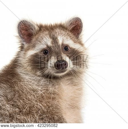 head shot of a brown Raccoon facing at the camera, isolated