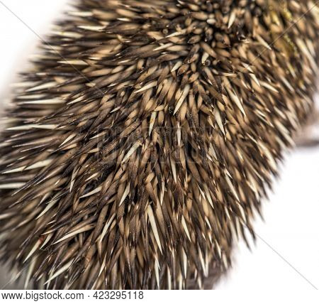 close-up of a Young European hedgehog coat, isolated