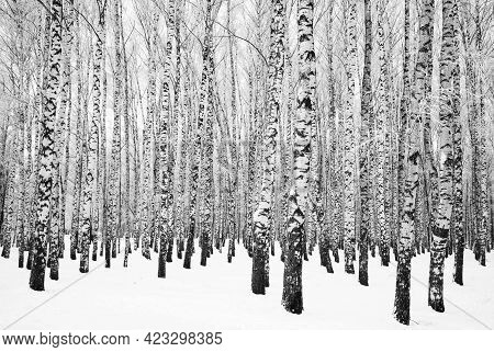 Winter Birch Grove With Trees Snow Covered Trees Black And White