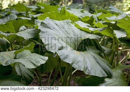Petasites Is A Genus Of Flowering Plants In The Sunflower Family, Asteraceae, That Are Commonly Refe