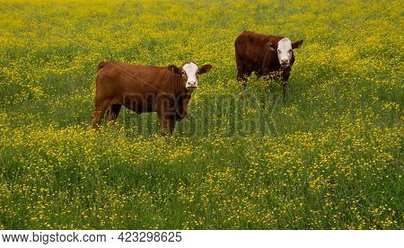 Pretty Cows In A Field Of Yellow Flowers