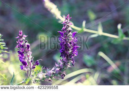 Meadow Wildflowers, Flowering Medicinal Plant Purple Sage Salvia.