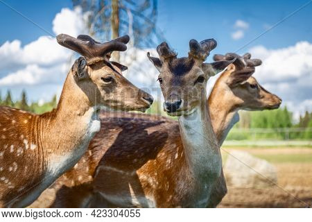 Sika Deer On A Reindeer Farm. Deer Graze In The Pasture. Reindeer Farm. Close Up. High Quality Photo