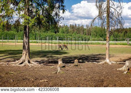 Sika Deer On A Reindeer Farm. Deer In Captivity. Deer Graze In The Pasture. Reindeer Farm.