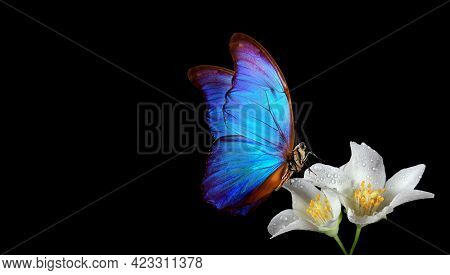 Bright Blue Tropical Morpho Butterfly On Jasmine Flowers In Dew Drops On Black. Copy Space