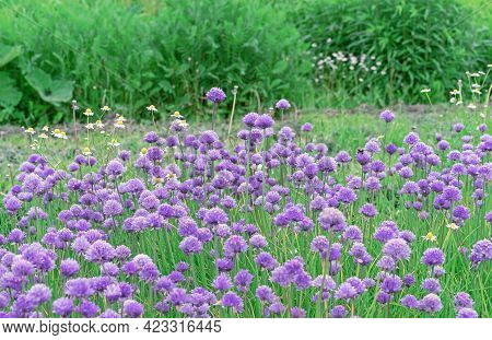 Purple Chives Flowers Bloom In The Summer Garden.