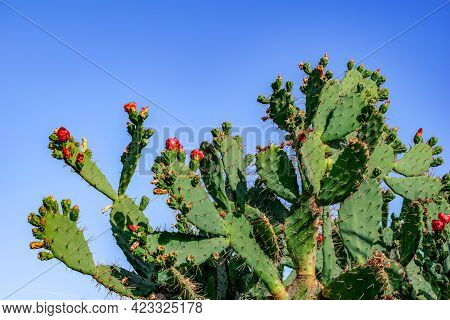 Blooming Prickly Pear Tree, Close-up, Isolated On Blue Sky Background. Big Cactus Bush With Red Flow