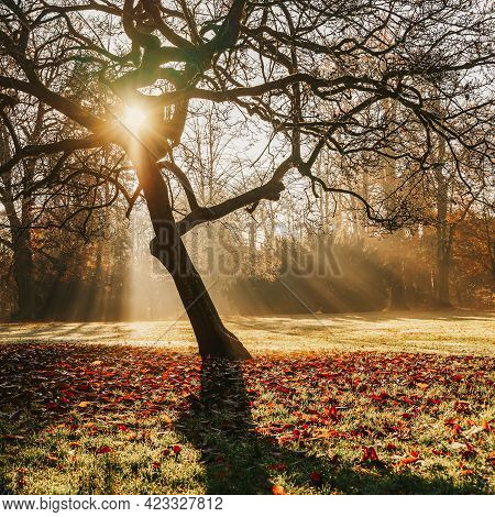Fall. Picturesque Big Tree On Glade In Park, Light Haze. Golden Sunbeams. Autumn Morning