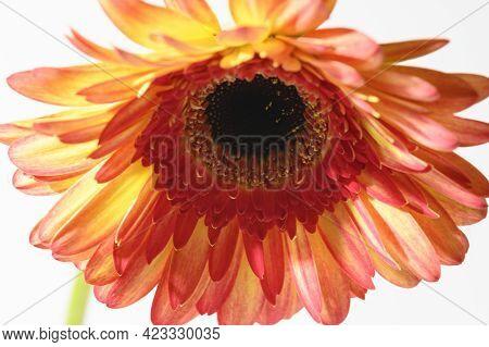 Gerber Flower Very Beautiful Color Blossom Close Up