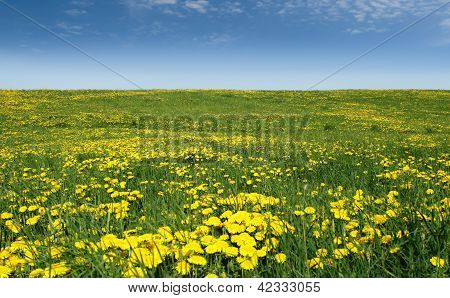 Sea Of Dandelions