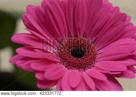 Gerber Flower Very Pretty Colorful Blossom Close Up