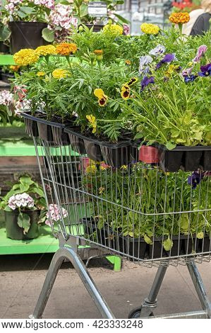 Mixed Pansies In The Garden Center In The Grocery Cart. Pansies. Seedlings Of Pansies