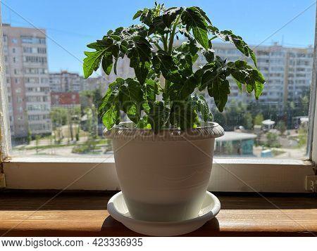 Balcony Garden. Tomato Bush In A Pot On The Balcony Of A Residential Multi-storey Building.