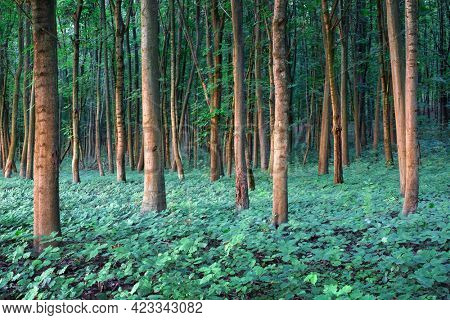 Young oak trees seedlings in oak forest. Nature woods and trees background