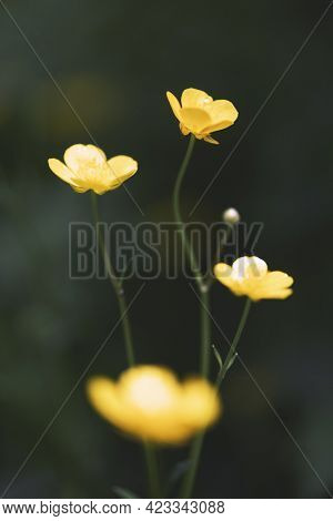 Closeup of yellow wildflowers on blurred green background. Natural floral landscape, ecology cover page concept