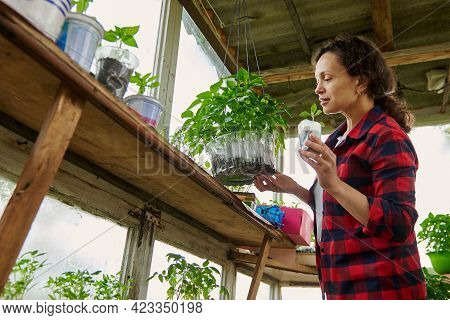 Young Woman Gardener Cultivating Vegetables In Greenhouse. Gardening In A Greenhouse. Organic Agricu