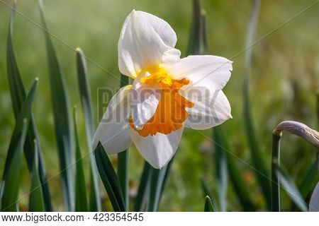 White Daffodil Flower With A Yellow Center In Sunlight On A Green Background. Narcissus Or Daffodil