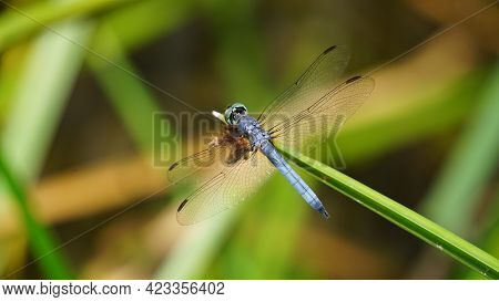 Male Blue Dasher Dragonfly Resting On A Reed.
