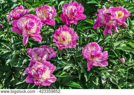 The Bowl Of Beauty Herbaceous Peony Belongs To The Japanese Milky-flowered Varieties And Is Distingu