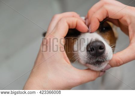 Jack Russell Terrier Dog Muzzle And Female Hands In The Shape Of A Heart.