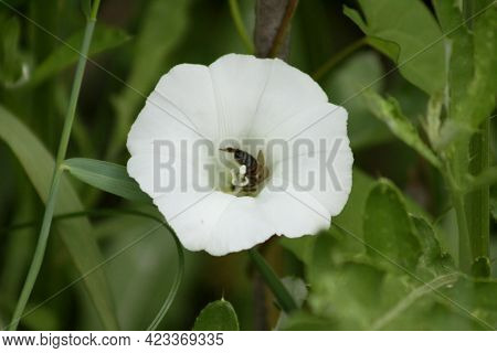 Bee In Hedge Bindweed In Bloom Close-up View Of It