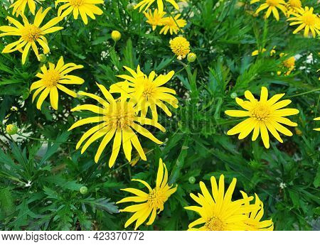 Closeup Of Yellow Euryops Chrysanthemoides Flowers With Green Leaves.