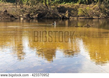 Photograph Of An Injured Pelican In The Nepean River After Severe Flooding In Yarramundi Reserve In