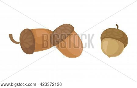 Acorns Or Oaknut Containing Seeds Enclosed In Leathery Shell Vector Set