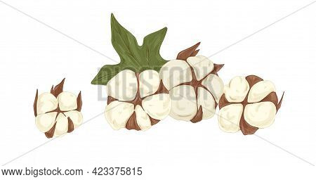 Soft Fluffy Buds Of Cotton Flowers With Leaf. Botanical Composition With Coton Bolls. Realistic Draw
